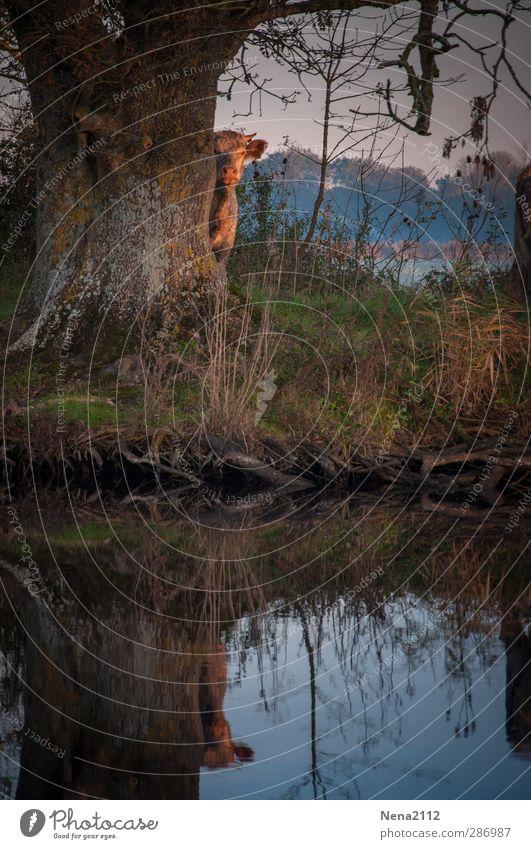 Verstecken spielen? Natur Landschaft Wasser Schönes Wetter Baum Gras Flussufer Bach Tier Nutztier Kuh 1 beobachten Spielen warten verstecken Spiegelbild