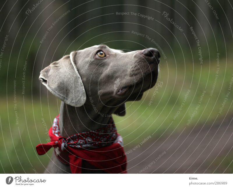 Widerstand ist zwecklos Umwelt Natur Schönes Wetter Wald Halstuch Hundehalsband Tier Haustier Weimaraner 1 beobachten Blick außergewöhnlich Wachsamkeit