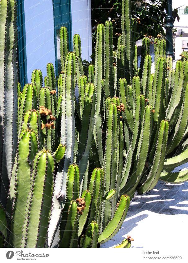 kaktuswäldchen Sonne grün Insel Kaktus