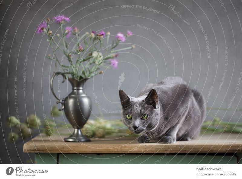 Katze und Distel blau grün schön Tier Holz grau Blüte Metall liegen glänzend warten elegant leuchten Tisch niedlich