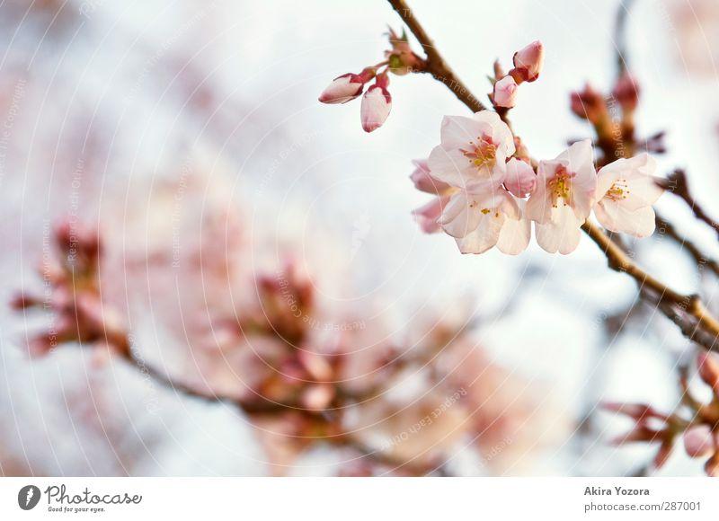 Primavera Natur Pflanze Himmel Frühling Baum Blüte Kirschblüten Kirschbaum verblüht Wachstum ästhetisch blau braun gelb rosa Frühlingsgefühle Liebe Romantik