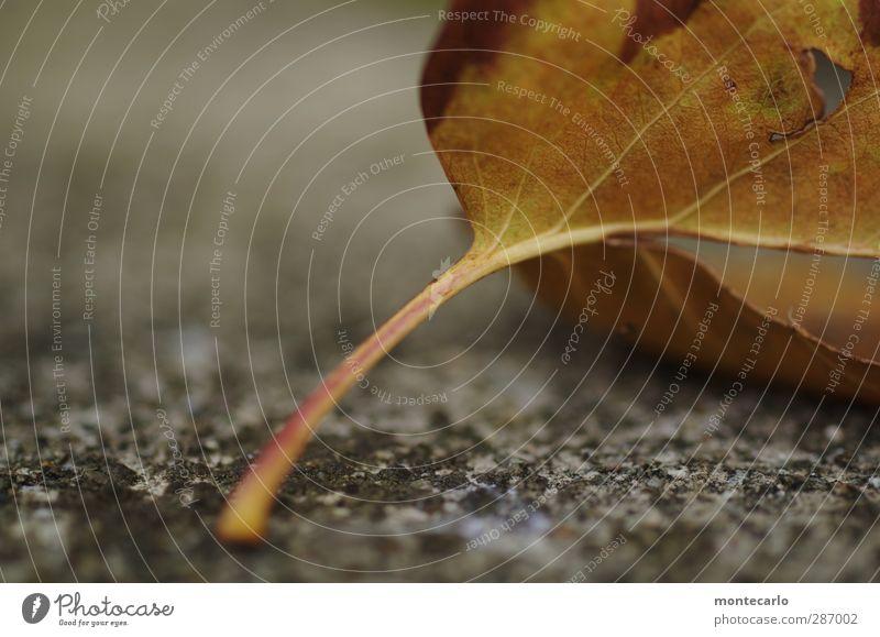 blattstengel Umwelt Natur Pflanze Herbst Blatt Grünpflanze Wildpflanze Stengel alt dünn authentisch einfach kalt natürlich trist trocken weich braun grau