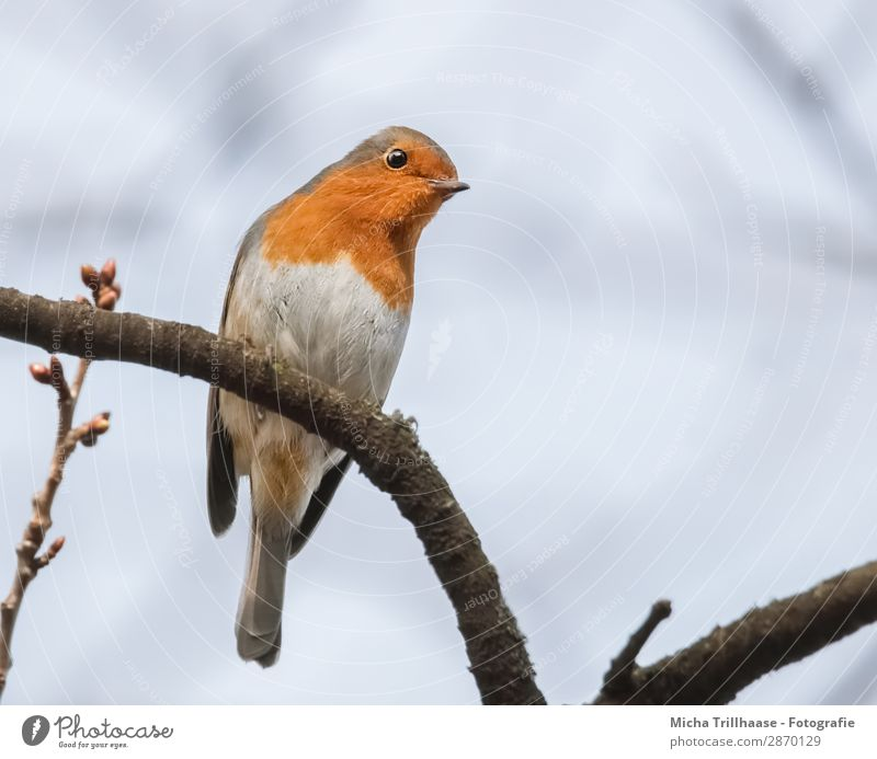 Neugieriges Rotkehlchen Natur Tier Himmel Sonnenlicht Schönes Wetter Baum Zweige u. Äste Wildtier Vogel Tiergesicht Flügel Krallen Schnabel Auge Feder gefiedert