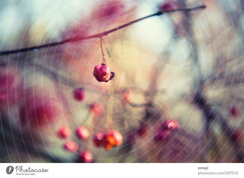 berry Natur Pflanze Umwelt natürlich rosa Sträucher Beeren Grünpflanze