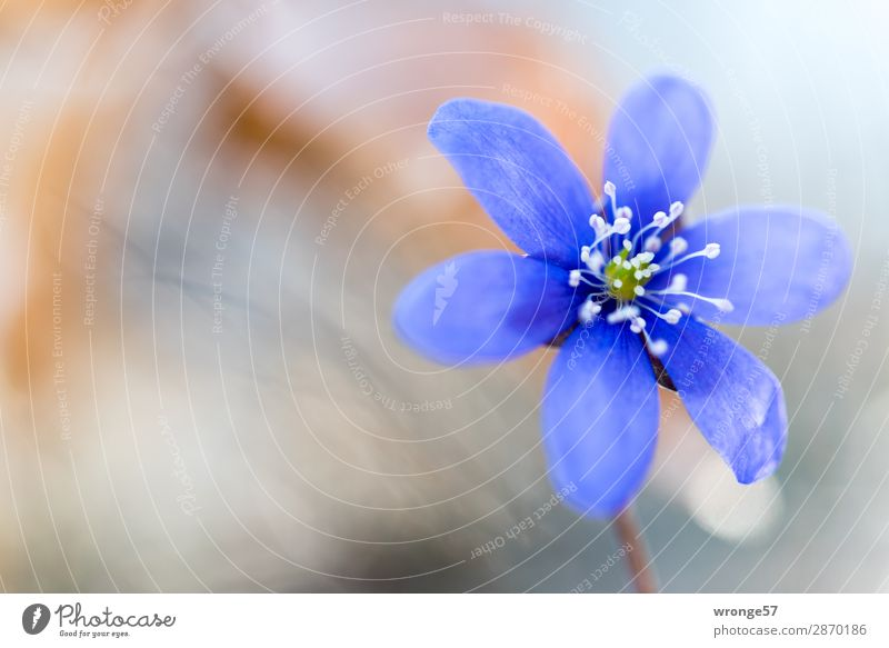Blüte eines Leberblümchen Natur Pflanze Frühling Blume Wald nah blau braun grau Blütenpflanze Nahaufnahme Makroaufnahme Querformat Frühblüher Frühlingsblume