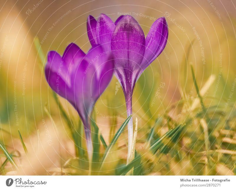 Krokusse auf der Frühlingswiese Natur Pflanze blau schön grün Blume Blatt Wärme gelb Umwelt Blüte natürlich orange Stimmung leuchten