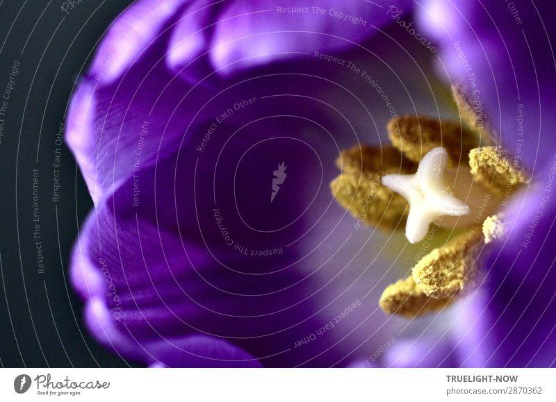 Herausragend | aus dem Inneren Pflanze Frühling Sommer Blume Tulpe Blüte ästhetisch Duft elegant Erotik frisch nah natürlich stark Wärme gold violett weiß