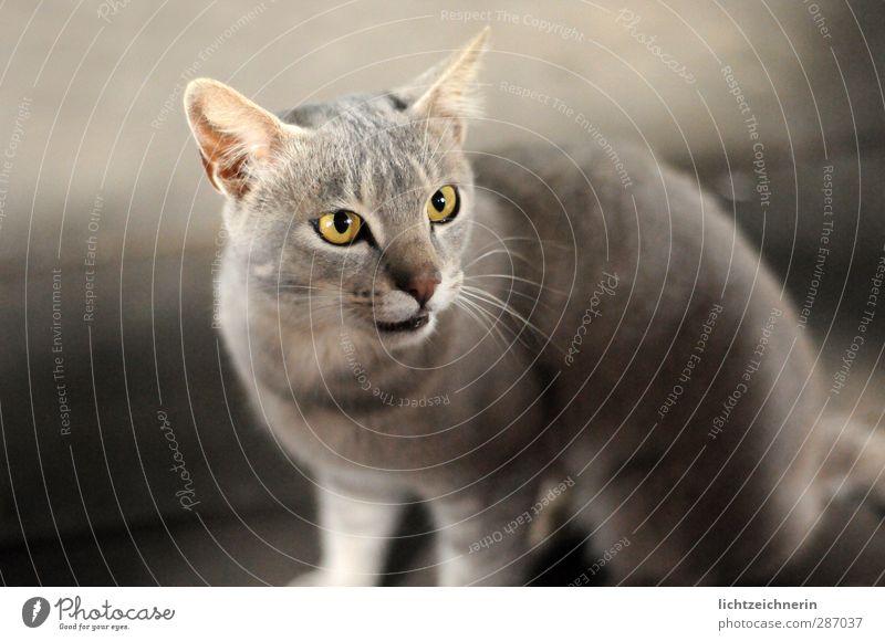 Grey Cat Katze schön Tier ruhig grau Kraft sitzen wild warten elegant ästhetisch weich Macht Neugier dünn Konzentration