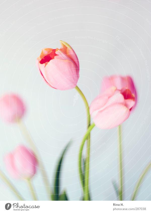 Umgarnen Blume Liebe elegant ästhetisch berühren Blühend Tulpe Brunft