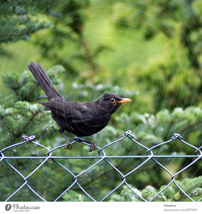 Maschendrahtzaun Natur grün Sommer Pflanze Baum Tier schwarz Umwelt Auge Garten Vogel natürlich Wildtier frei Feder Flügel
