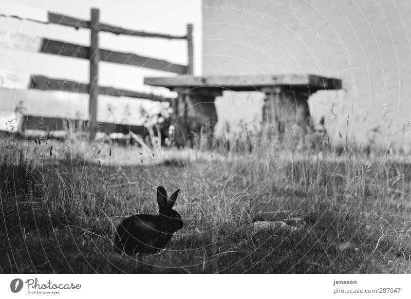 Was macht der Osterhase eigentlich im Sommer? Natur Tier Einsamkeit ruhig Erholung Umwelt dunkel Wiese Wand Gras klein Garten warten beobachten genießen Ohr
