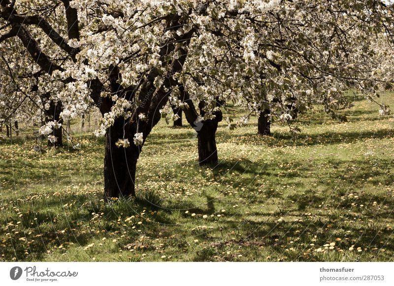 Erinnerung grün Baum Sonne Freude ruhig gelb Wiese Wärme Frühling Glück Blüte Garten hell Stimmung Zufriedenheit Fröhlichkeit