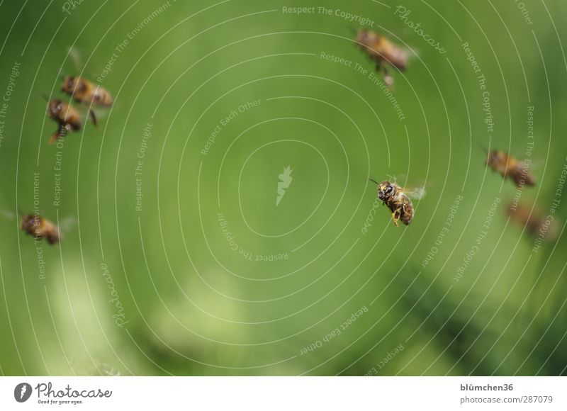HAPPY BIRTHDAY MONTECARLO schön Tier Beine Arbeit & Erwerbstätigkeit fliegen Ausflug Flügel Völker Insekt Biene Teamwork tragen fliegend Nutztier Schwarm Pollen