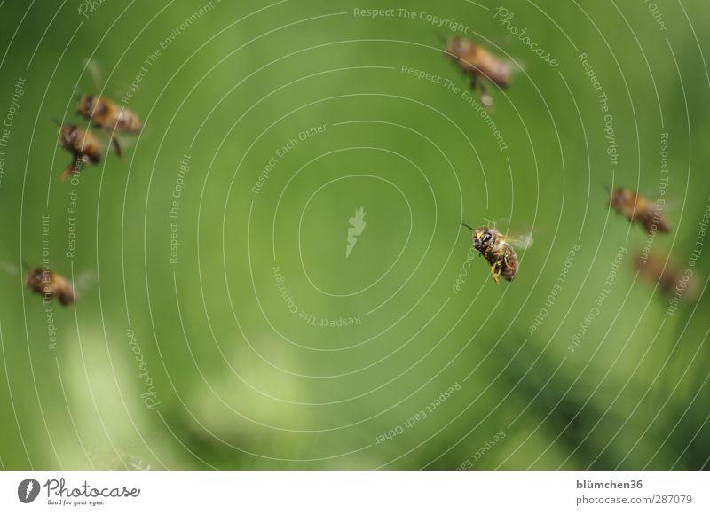 HAPPY BIRTHDAY MONTECARLO Tier Nutztier Biene Schwarm Arbeit & Erwerbstätigkeit fliegen tragen schön Ausdauer Teamwork Ausflug fleißig emsig diszipliniert Honig