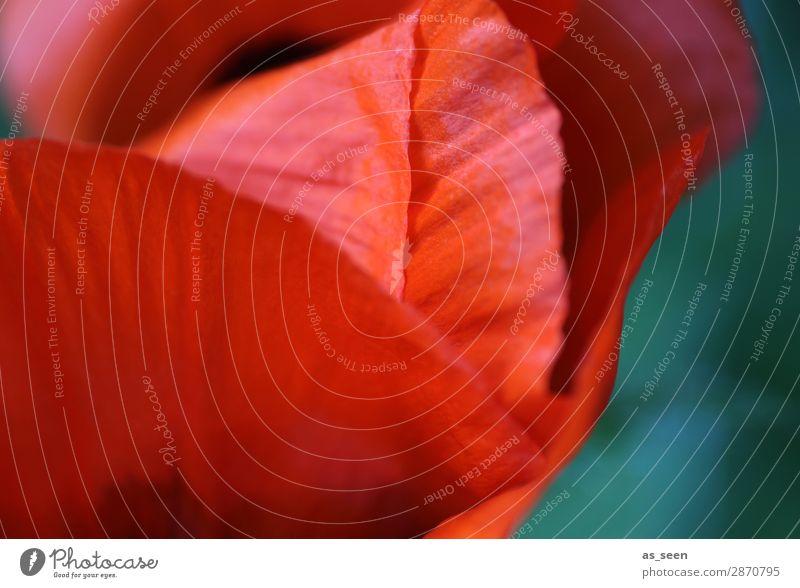 Mohn Stil Design schön Wellness Leben Garten Valentinstag Muttertag Umwelt Natur Pflanze Frühling Sommer Blume Mohnblüte Blütenblatt Blühend leuchten ästhetisch