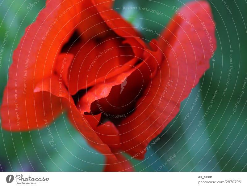 Mohn Leben harmonisch Garten Muttertag Umwelt Natur Pflanze Frühling Sommer Blume Blatt Blüte Mohnblüte Blütenblatt Park berühren Blühend leuchten ästhetisch