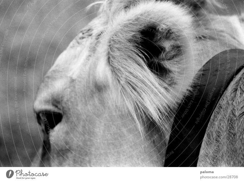 großer lauschangriff Kuh Verkehr Ohr Schwarzweißfoto Makroaufnahme