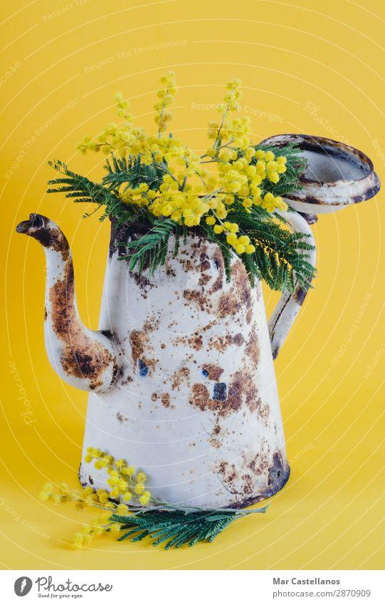 Alte Kaffeekanne als Vase mit Akazienblüten. Duft Garten Dekoration & Verzierung Natur Pflanze Frühling Baum Blume Blatt Blüte Grünpflanze Wildpflanze exotisch