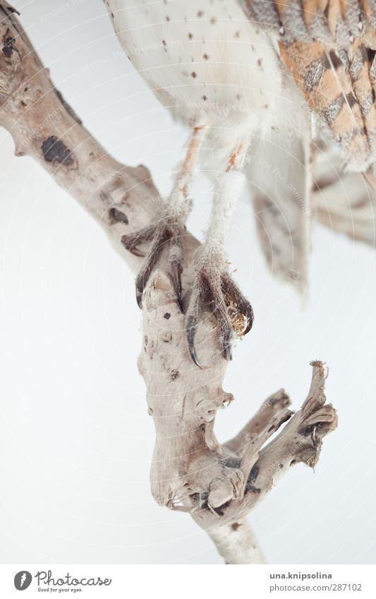 untereule Natur Tier Wildtier Totes Tier Vogel Flügel Krallen Feder Eulenvögel Tierfuß 1 stehen weich braun ästhetisch Tierpräparat Farbfoto Gedeckte Farben