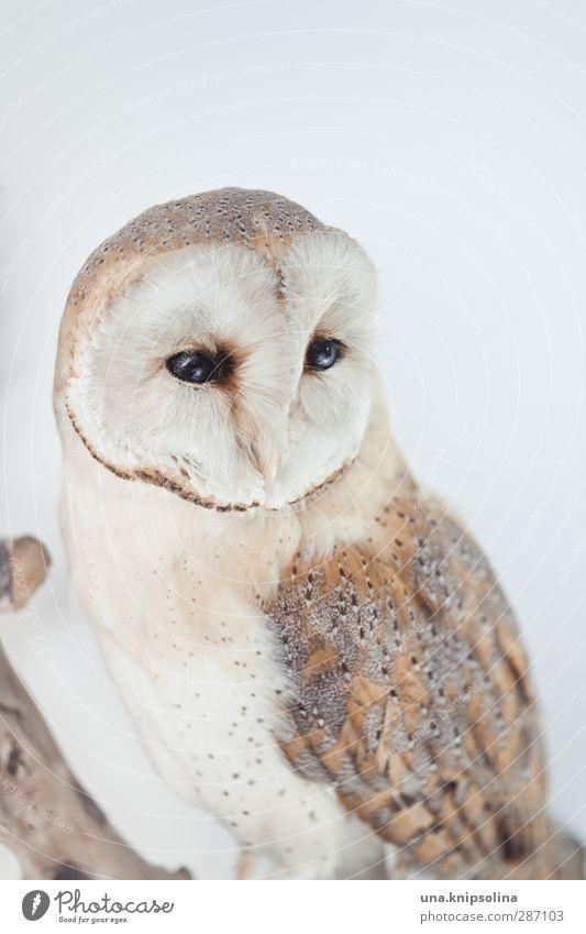 obereule Natur Tier Wildtier Totes Tier Vogel Tiergesicht Flügel Feder Eulenvögel 1 beobachten weich braun weiß Bildung Vergänglichkeit Tierpräparat Weisheit