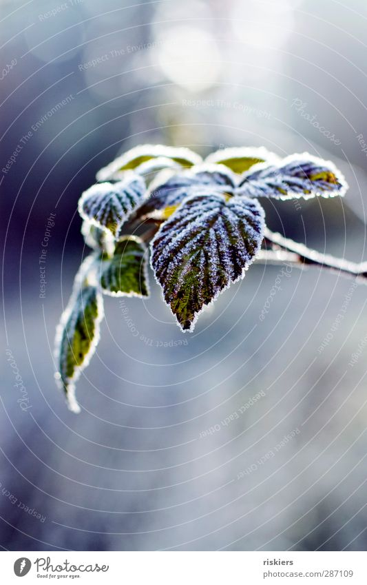 zucker Umwelt Natur Landschaft Pflanze Tier Herbst Winter Eis Frost Blatt Wald ruhig Idylle kalt Farbfoto Außenaufnahme Textfreiraum oben Textfreiraum unten