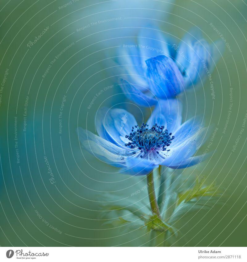 Blaue Anemonen Natur Sommer Pflanze blau grün Blume Erholung ruhig Blüte Frühling Feste & Feiern Garten Design Zufriedenheit Dekoration & Verzierung Park
