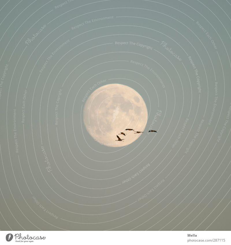 Moonlight Flying Part III Umwelt Natur Tier Luft Himmel Wolkenloser Himmel Mond Vollmond Vogel Kranich Tiergruppe Schwarm fliegen leuchten frei Zusammensein