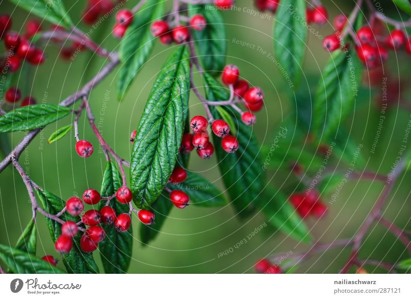 Beeren Umwelt Natur Pflanze Herbst Schönes Wetter Baum Sträucher Blatt Grünpflanze Nutzpflanze Frucht Zweig Ast Garten Park glänzend hängen Wachstum frisch