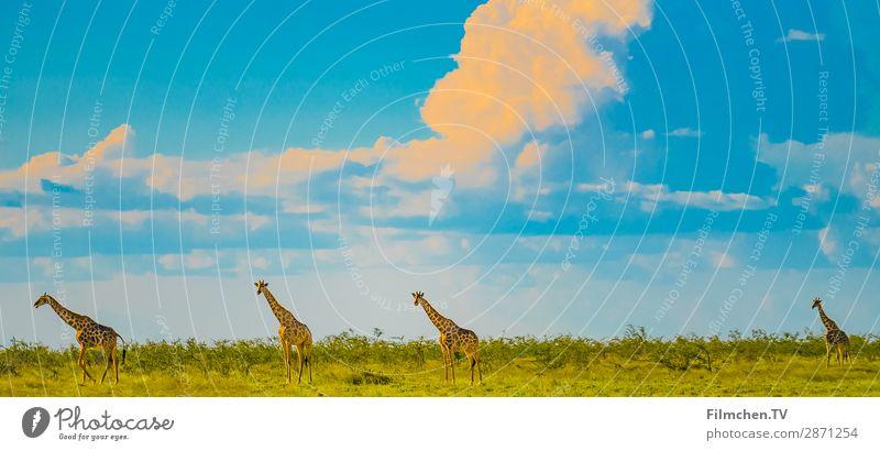 Giraffen in Etosha Tier Wildtier 4 ästhetisch Abenteuer Afrika Etoscha-Pfanne Namibia Reisen Farbfoto Außenaufnahme Menschenleer Textfreiraum links