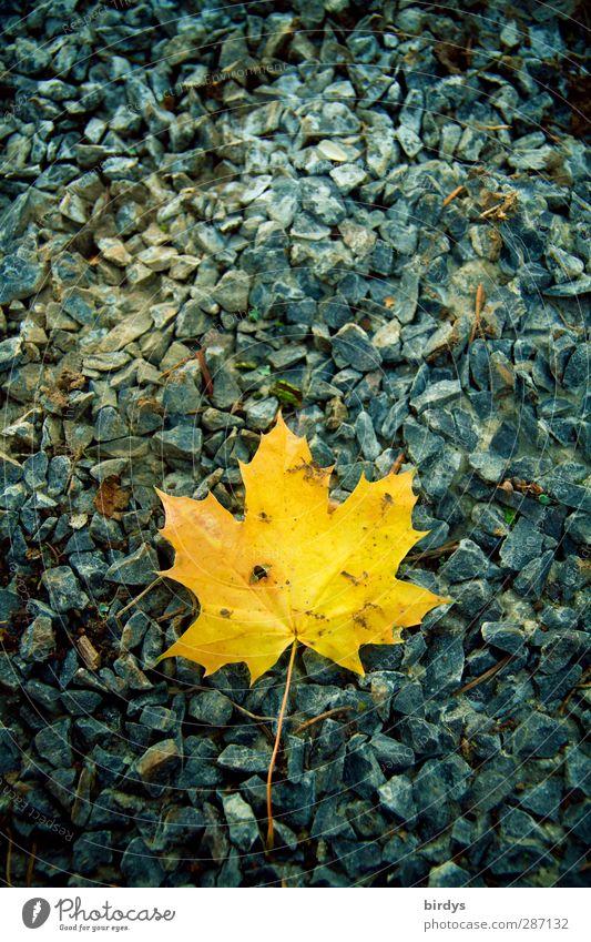 kanadischer Herbst Blatt Stein leuchten liegen ästhetisch positiv blau gelb Natur Wandel & Veränderung 1 Kies Ahornblatt Herbstfärbung Farbfoto Außenaufnahme