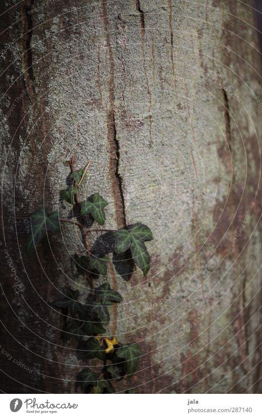 efeu Natur grün Pflanze Baum Umwelt braun natürlich Baumstamm Baumrinde Efeu Rotbuche
