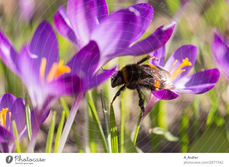 Krokusse mit Hummel im Frühling Natur Pflanze Schönes Wetter Blume Gras Wildpflanze Garten Park Feld Tier Biene 1 berühren Blühend außergewöhnlich elegant nah
