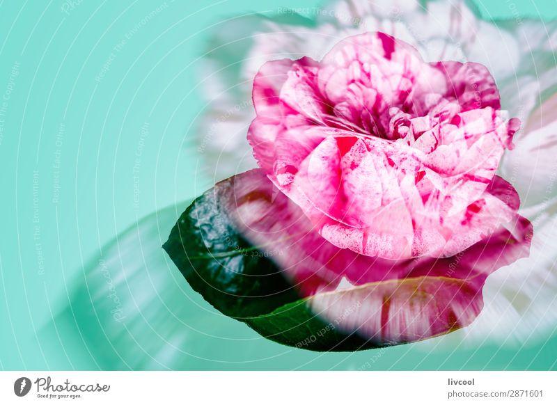 rosa Rose auf grünem Hintergrund schön Erholung Natur Frühling Blume Blüte Garten Coolness niedlich rot bequem Farbe rote Blume defokussiert Korallenfarbe