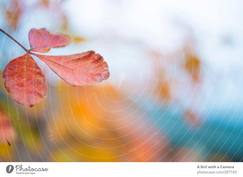 neverlasting beauty Natur Pflanze Blatt Wald Umwelt Herbst Park Vergänglichkeit Indian Summer