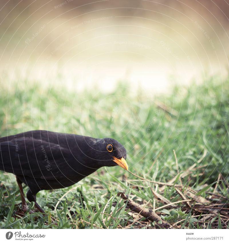 Kiek ma wedder in Natur grün Tier schwarz Umwelt Wiese Gras lustig klein Vogel natürlich Wildtier authentisch Feder Neugier tierisch