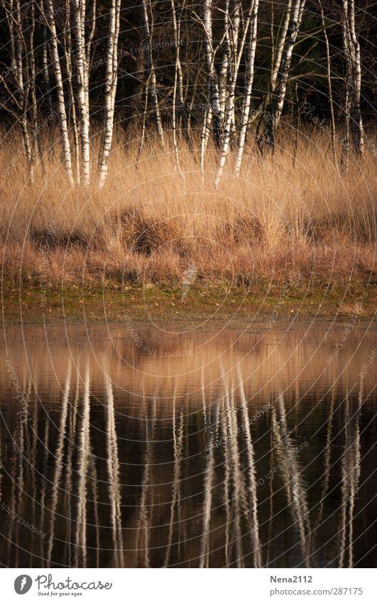 Birkenspiegel Umwelt Natur Landschaft Pflanze Wasser Herbst Winter Schönes Wetter Baum Gras Sträucher Wiese Wald Seeufer Flussufer Moor Sumpf Teich Bach wild