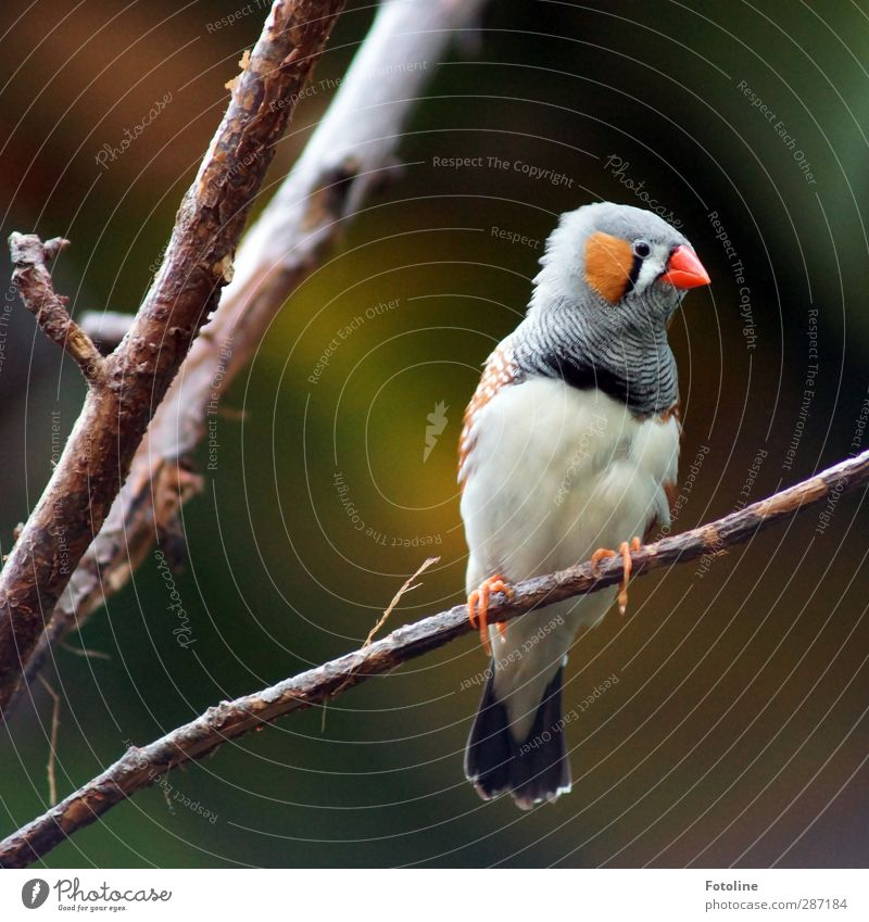 Hä? Was'n da los??? Umwelt Natur Pflanze Tier Baum Vogel Tiergesicht Krallen hell klein nah natürlich Zebrafink Fink Schnabel Feder Ast Zweig mehrfarbig