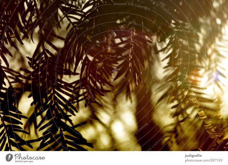 Sonntags Umwelt Natur Pflanze Sonnenlicht Nadelbaum Tanne Tannennadel Wachstum natürlich Spitze wild Stimmung Wald Farbfoto Außenaufnahme Tag Licht Gegenlicht