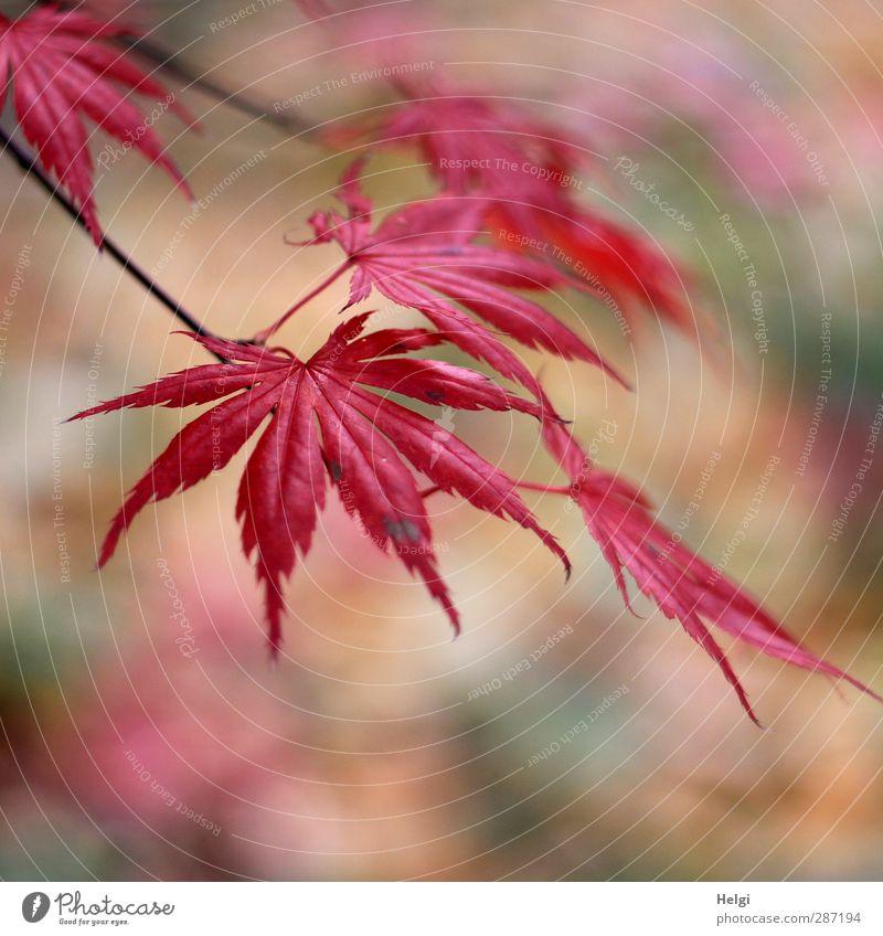Herbst in rot... Umwelt Natur Pflanze Baum Blatt Ahorn Ahornblatt Garten alt hängen dehydrieren Wachstum ästhetisch authentisch schön natürlich braun grün