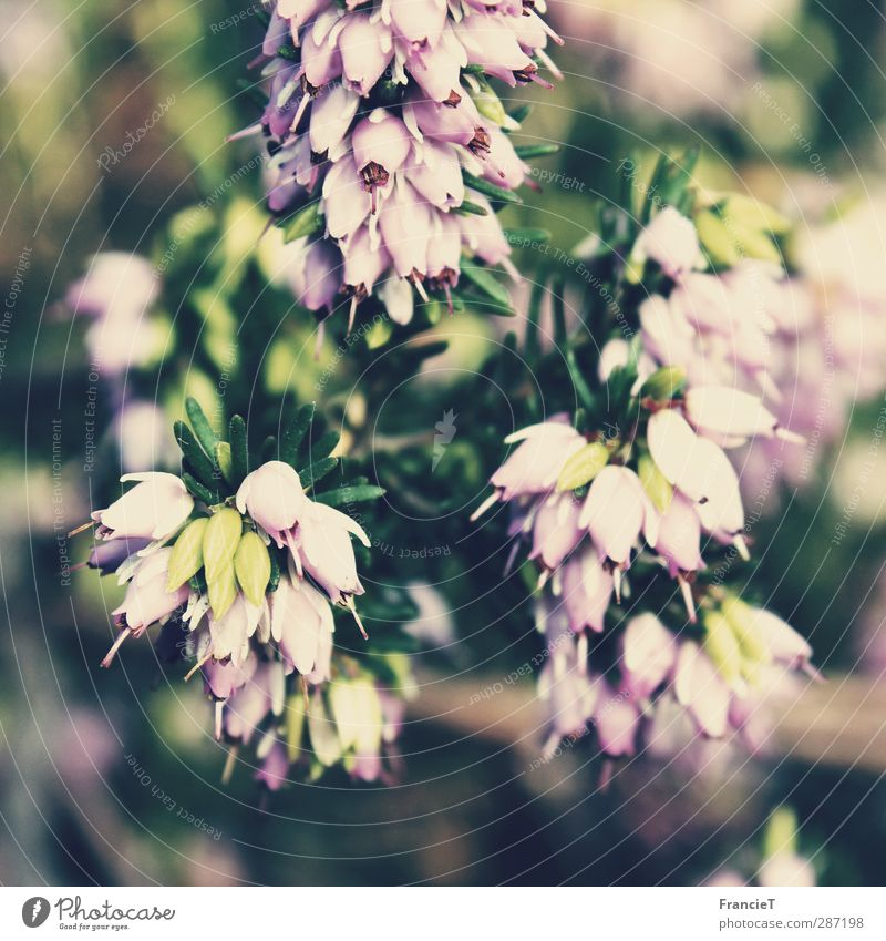 Erica Carnea Umwelt Natur Pflanze Sonne Frühling Blatt Blüte Wildpflanze Winterheide Heide Bergheide Garten Park Blühend Duft hängen verblüht Wachstum