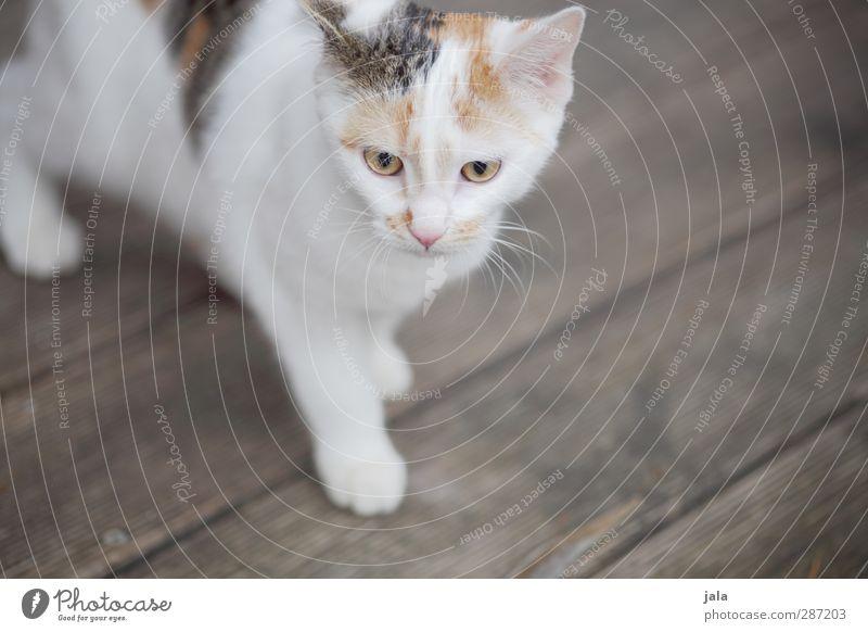 nachbars kleine mauz Tier Haustier Katze 1 Tierjunges glückskatze Farbfoto Außenaufnahme Menschenleer Textfreiraum rechts Hintergrund neutral Tag Tierporträt