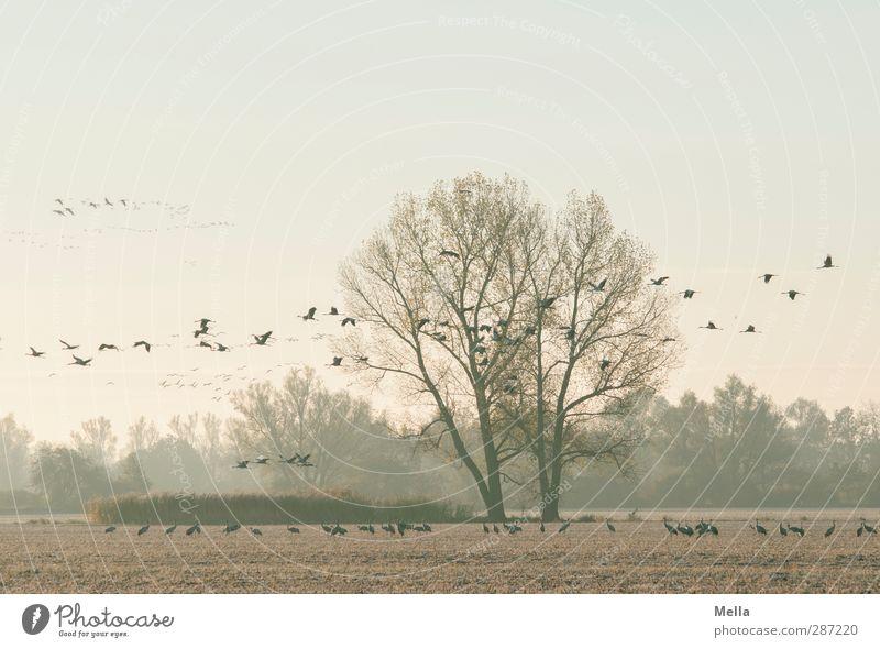 Kranichmorgen Umwelt Natur Landschaft Tier Herbst Winter Pflanze Baum Sträucher Feld Vogel Tiergruppe Schwarm fliegen stehen frei Zusammensein natürlich