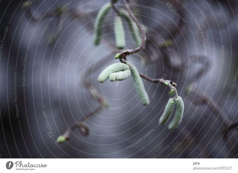 birke Natur blau grün Pflanze Baum Umwelt grau natürlich Samen Grünpflanze Birke Wildpflanze