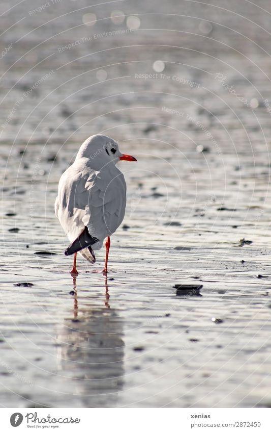 Möwe schaut nach rechts Ferien & Urlaub & Reisen weiß Meer Tier ruhig Strand schwarz Küste orange Vogel grau Wildtier stehen Ostsee