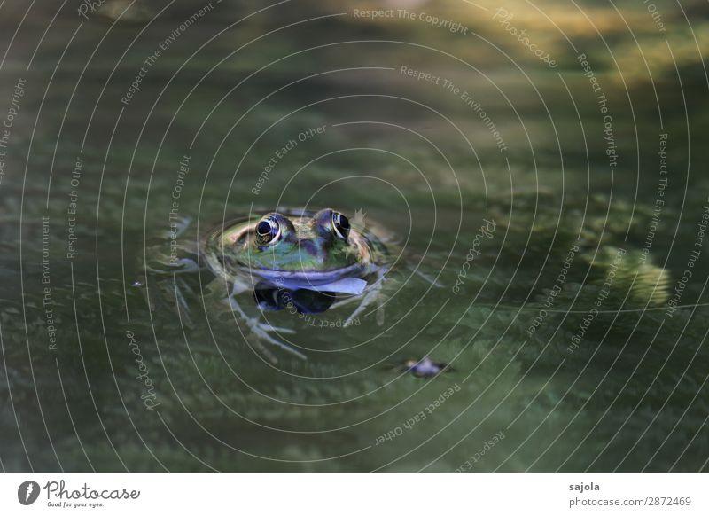 frosch im teich Schwimmen & Baden Umwelt Natur Tier Wasser Pflanze Grünpflanze Teich Wildtier Frosch Tiergesicht Amphibie 1 beobachten Erholung Blick schleimig
