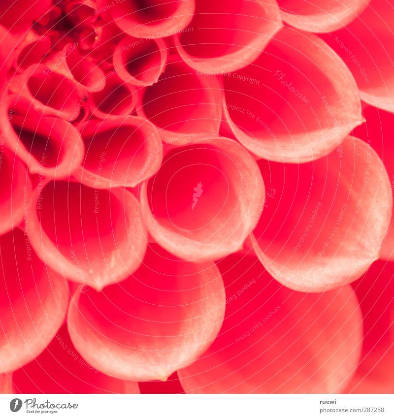 Dahlie Natur Pflanze weiß Blume rot schwarz Umwelt Blüte Liebe Glück Garten rosa Wohnung Häusliches Leben Dekoration & Verzierung Blühend