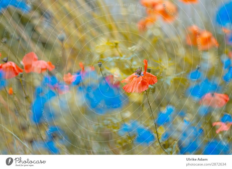 Blumen - Mohn im Feld Design Wellness harmonisch Wohlgefühl Zufriedenheit Erholung ruhig Meditation Kur Spa Dekoration & Verzierung Tapete Feste & Feiern Umwelt
