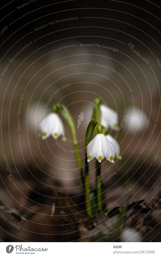die ersten Frühlingsboten Märzenbecher Winter Umwelt Natur Pflanze Erde Schönes Wetter Wildpflanze Garten Park Duft Wachstum ästhetisch Fröhlichkeit frisch nah