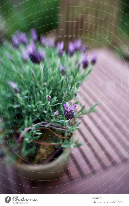 Happy Birthday photocase | und ein Blümchen gibt´s auch noch! Natur Pflanze Blume Blüte Garten Wachstum Sträucher Blühend Lavendel