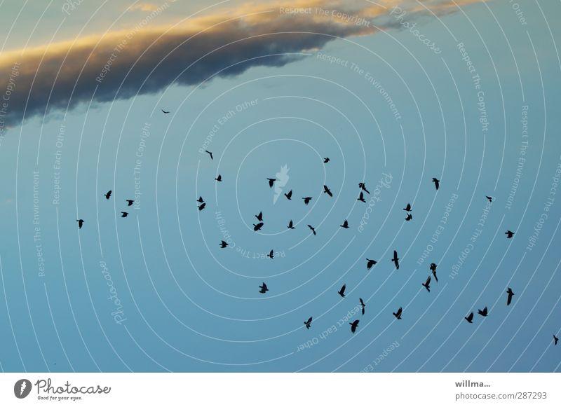 happy birdday, photocase! :) Himmel blau Wolken Vogel Schwarm Krähe Wolkenformation Wolkenband